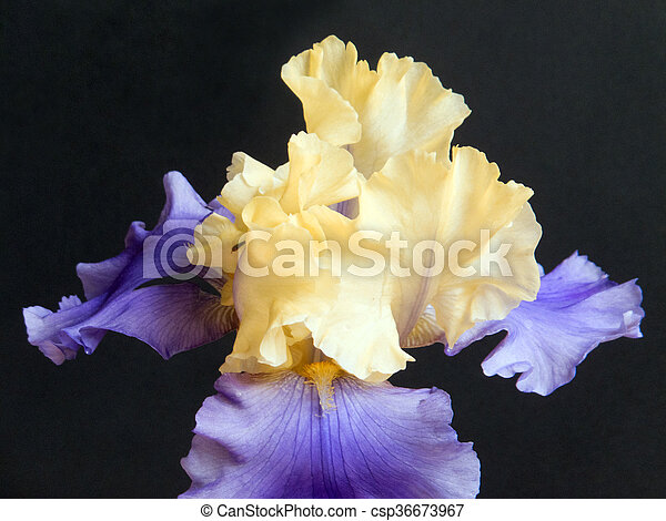 Iris in Purple and Yellow - csp36673967