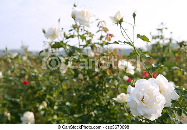 Agriculture of rose ornamental flowers field - csp3670698