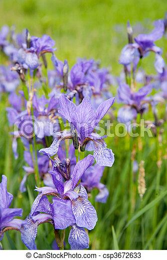 stock fotos von iris nahaufnahme pflanze close up von. Black Bedroom Furniture Sets. Home Design Ideas