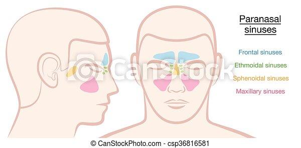 Paranasal Sinuses Male Face - csp36816581