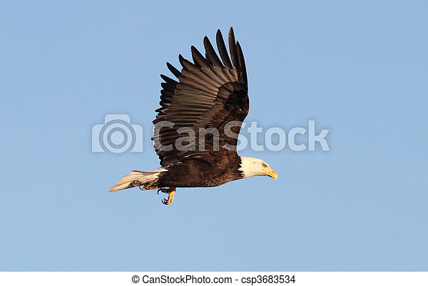 Adult Bald Eagle (haliaeetus leucocephalus) - csp3683534