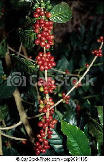 live coffee beans tall - csp3691165