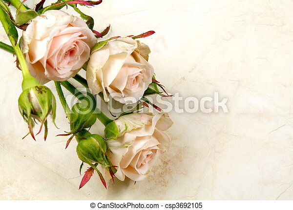 Rose Flowers and Buds on Textured Old Paper - csp3692105