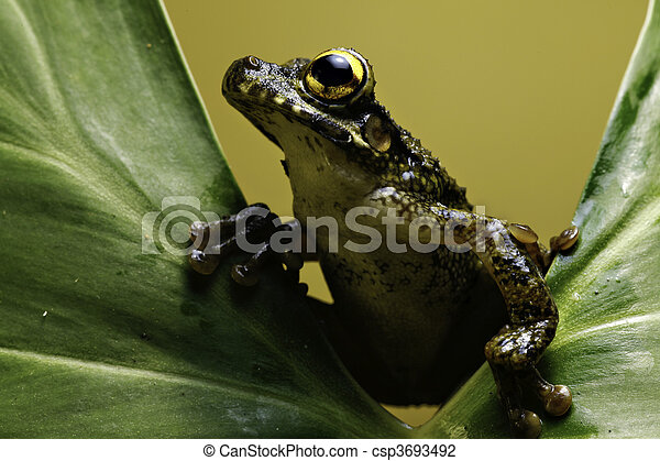 tree frog on leaf amphibian amazon - csp3693492