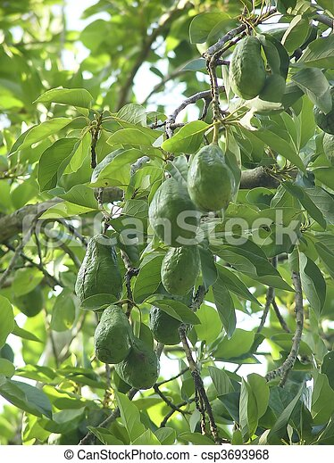 avocado tree with fruits in mexico - csp3693968