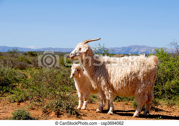 Adult Angora goat with lamb - csp3694062