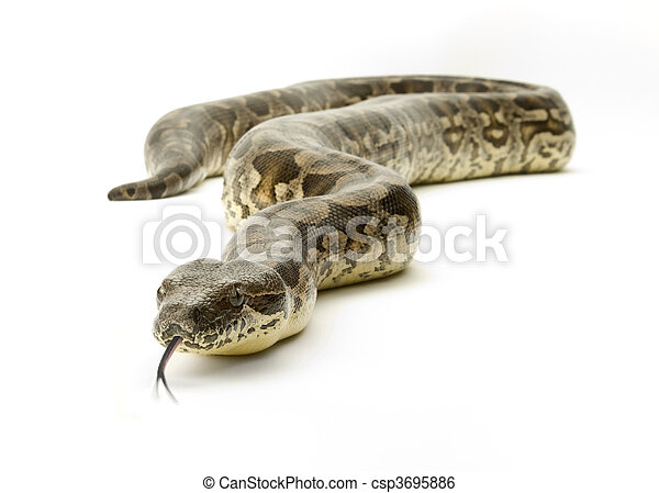 branca, cobra - csp3695886