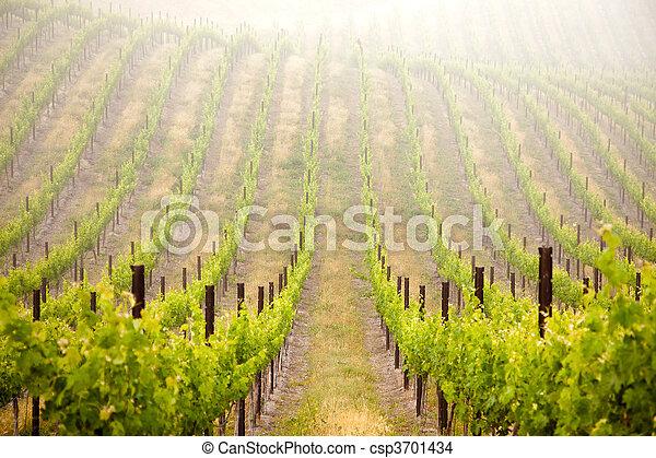 Beautiful Lush Grape Vineyard - csp3701434