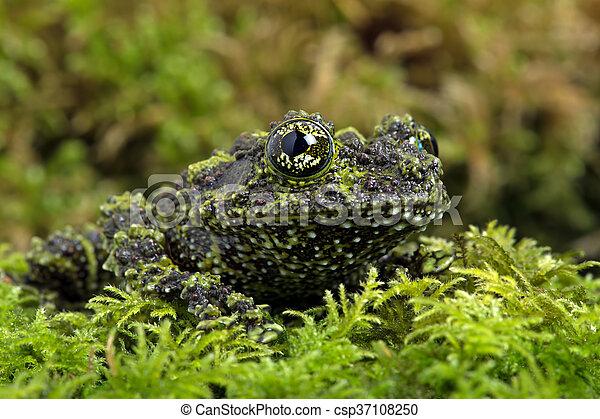 Vietnamese Mossy Frog - csp37108250