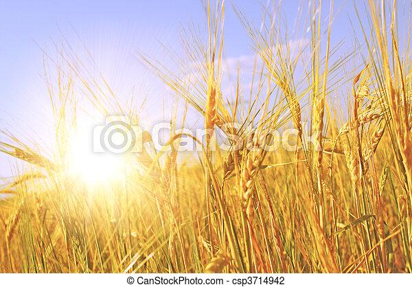 Crop of rye - csp3714942