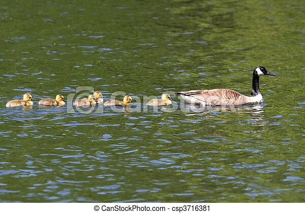 Canada Goose (Branta canadensis) with Babies