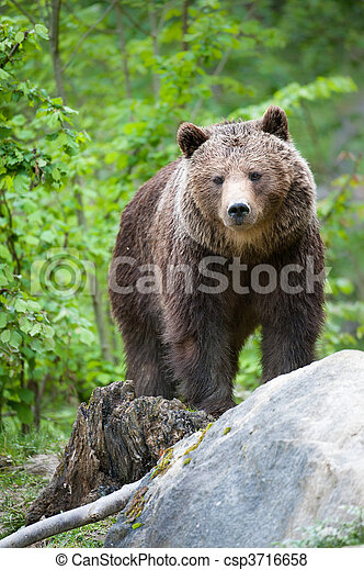 brown bear - csp3716658