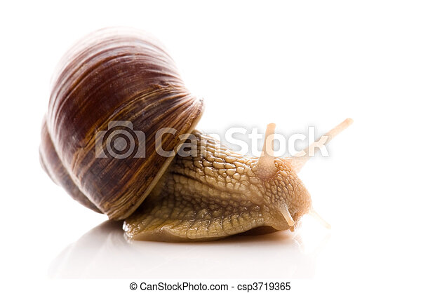 Snail. animal isolated on the white - csp3719365