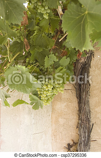 grapes and vine trunk - csp37295336