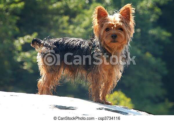 Yorkshire Terrier - csp3734116