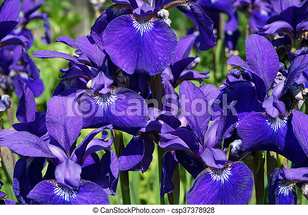 Siberian Irises - csp37378928