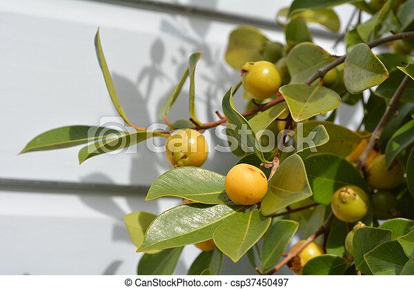 Strawberry Guava - csp37450497