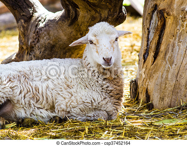Farm animals lamb