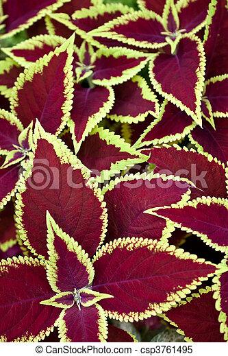 red coleus - csp3761495