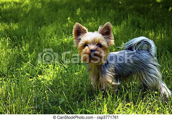 stock fotografie von hund york hund auf gras csp3771761 suchen sie stock fotos bilder. Black Bedroom Furniture Sets. Home Design Ideas
