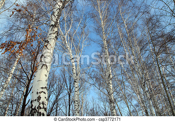 tops of bare birch trees - csp3772171