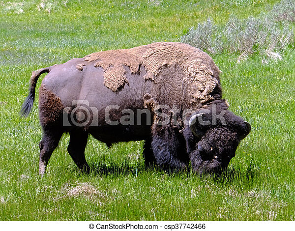 American Bison - csp37742466