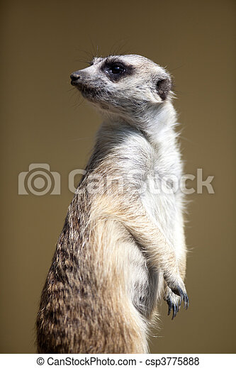 watchful meerkat standing guard - csp3775888