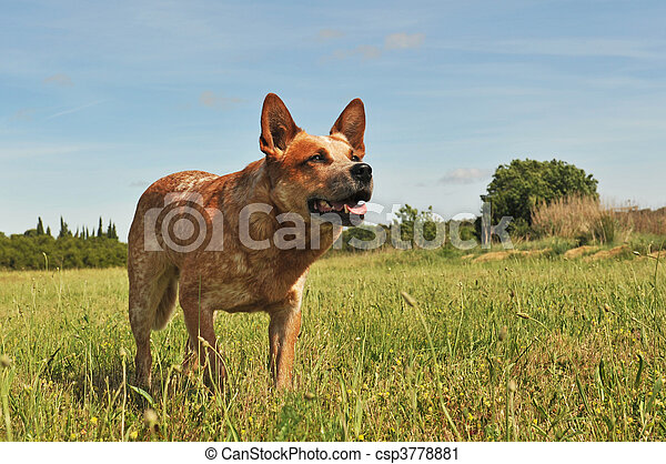 australian cattle dog - csp3778881