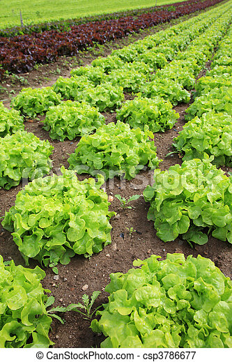 Fresh lettuces in the fields - csp3786677
