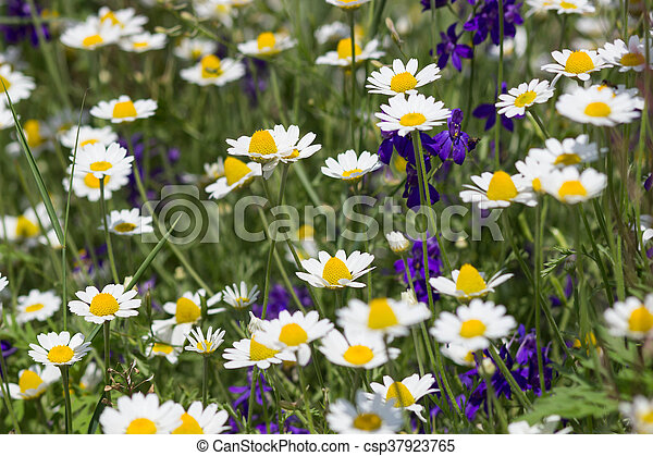 Wild chamomile flowers on a field on a sunny day. shallow depth of field - csp37923765