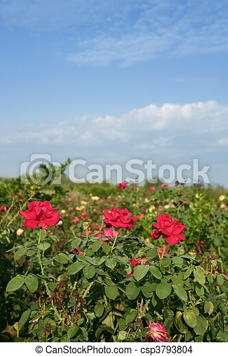 Agriculture of rose ornamental flowers field  - csp3793804