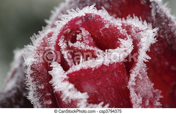 Frozen Rose   - csp3794375