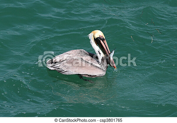 Brown Pelican Fishing In The Gulf - csp3801765