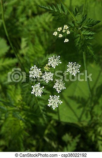 Banque de photographies de fleurs hemlock poison hemlock conium maculatum est - Fleur de poison ...