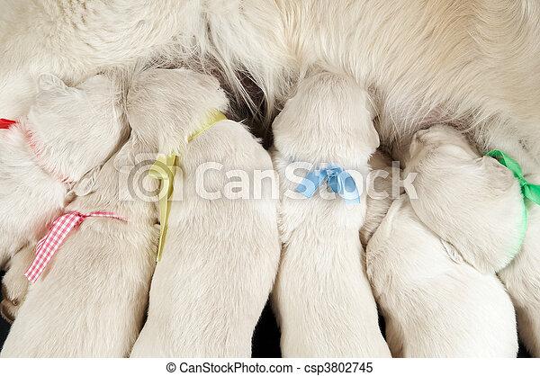 newborn retriever puppy feeding - csp3802745