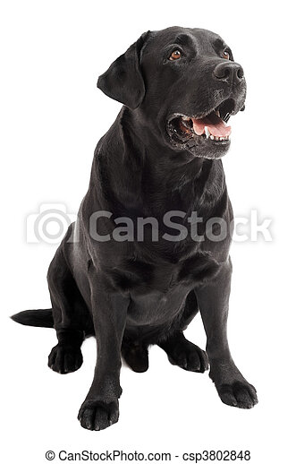 sitting Black Retriever Labrador Dog isolated - csp3802848