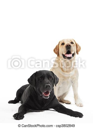 two labrador retriever dogs - csp3802849