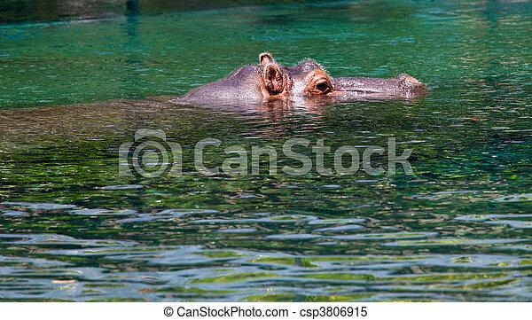 hipopótamo, ojos, orejas - csp3806915