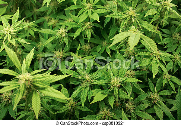 Cannabis plants background. - csp3810321