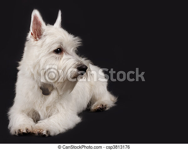 Stock Image of westie looking to a side - West Highland White ...