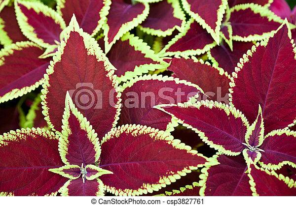 red coleus - csp3827761