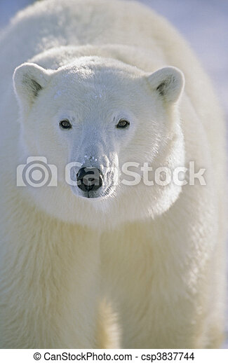 Polar Bear, Churchill, Manitoba, Canada. - csp3837744