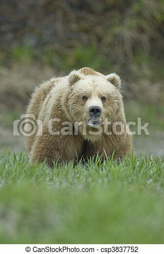 Big Brown Bear showing teeth. McNeil River Alaska. - csp3837752