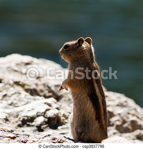 Rocky Mountain Rodent