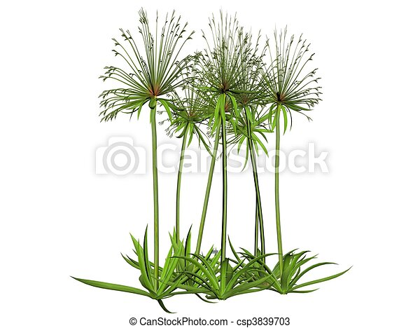 stock fotos von papyrus abbildung papyrus pflanze. Black Bedroom Furniture Sets. Home Design Ideas