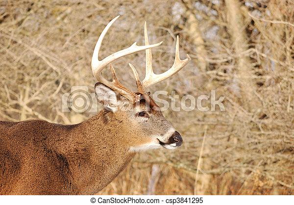 Whitetail Deer Buck - csp3841295