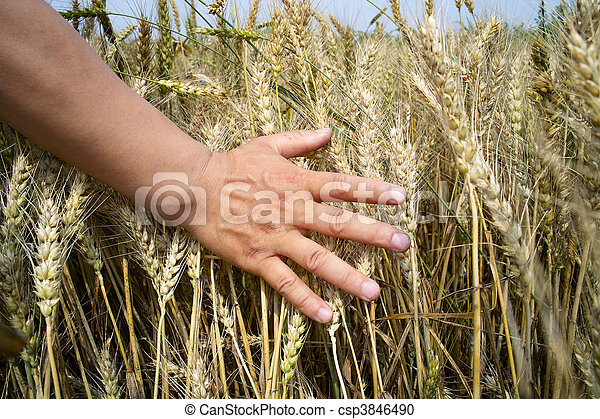 Farmer touches crop with hand. - csp3846490