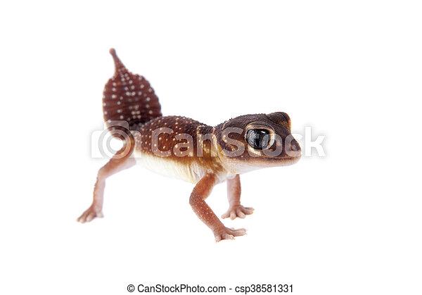 Stock Photos Of Smooth Knob Tailed Gecko On White Smooth