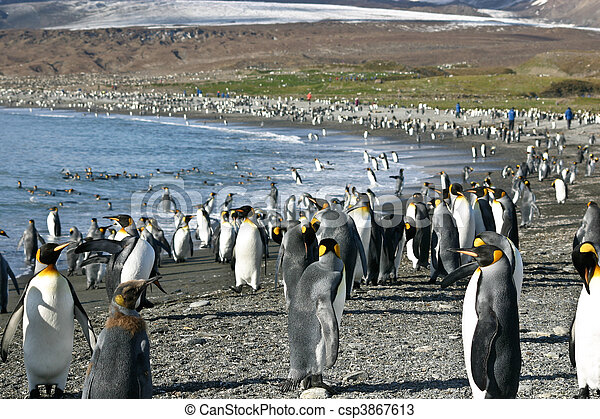 Colony of King Penguin in South Georgia - csp3867613