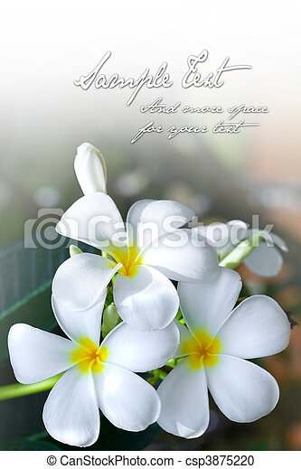 Background of the sweet smelling frangipani flower with space for text - csp3875220